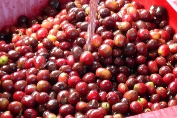 EL Huila escenario de Competencia Mundial de café, el reality Barista & Farmer