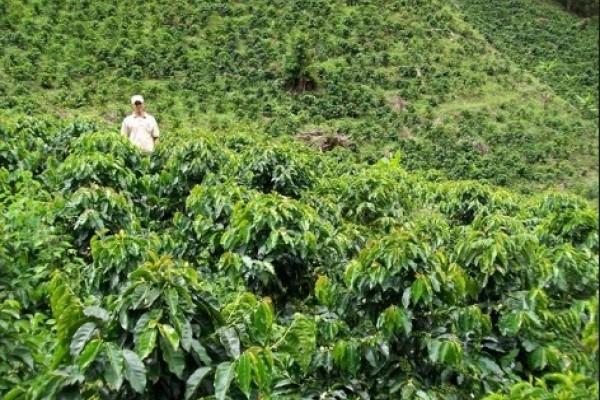 Los Cafeteros empezarán a recibir una ayuda en fertilizantes equivalente a $150 por cada árbol renovado por siembra o zoca.