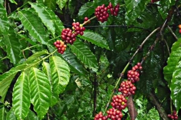 La broca no pone en riesgo la producción cafetera del Huila