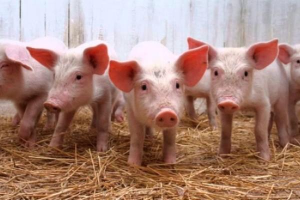 Pitalito será sede del III encuentro regional de porcicultores