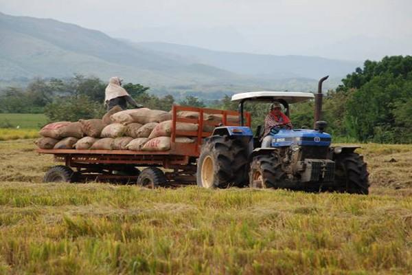 Destacada producción de arroz en el Huila
