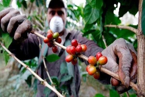 Huila se prepara para la cosecha cafetera