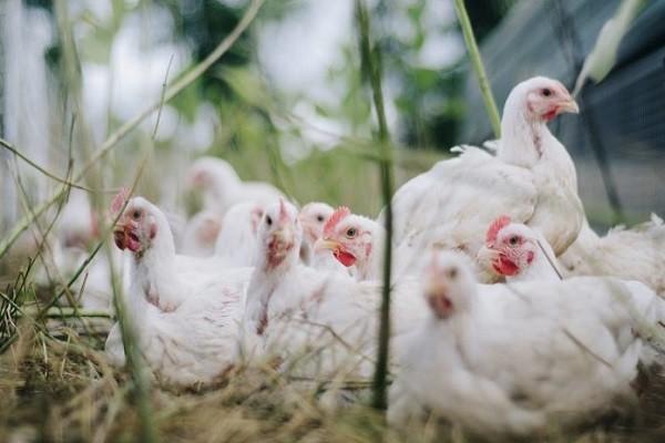 OIE ha declarado a Colombia un país libre de Newcastle, enfermedad del sector avícola