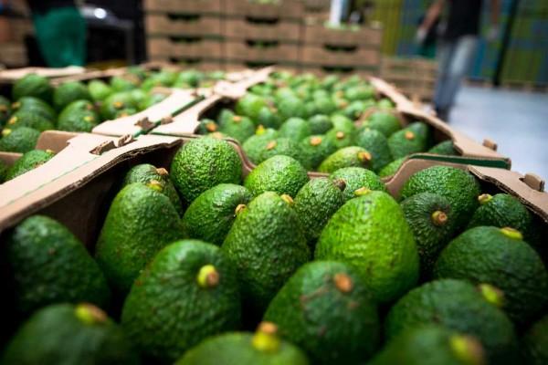 Huila tendrá Asamblea Departamental de productores de Aguacate Hass