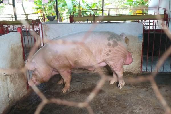 Sector porcícola del Huila le apuesta a la producción sostenible