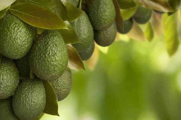 Productos como la carne, mango y aguacate, son los líderes de las nuevas exportaciones